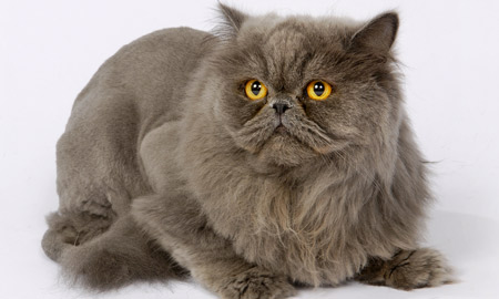 Image of long haired gray cat with yellow eyes